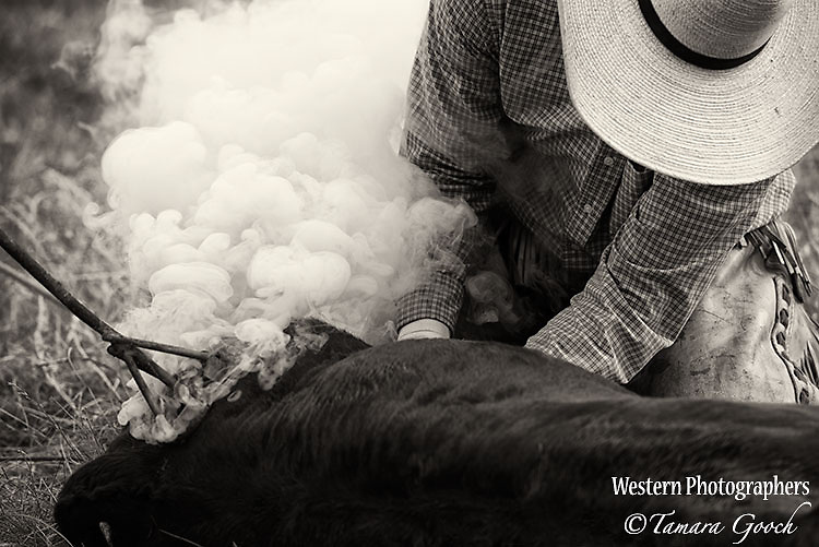 A photo of taken during a branding. Cowboy Photos, riding,roping,horseback