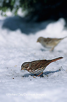 01579-00214 Fox Sparrow (Passerella iliaca) eating seeds on ground in winter, Marion Co.  IL