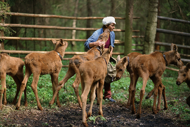 Larissa, a worker at the Sumarkova moose farm looks after the calves in an enclosure. Kostroma, Russia
