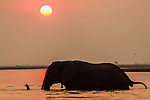 African elephant at sunset (Loxodonta africana), Chobe national park, Botswana, Africa, October 2014