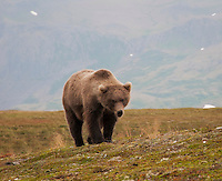 A young grizzly bear in Katmai National Park, Alaska.