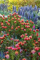 Leucospermum cordifolium 'Scarlet Ribbon' (Pincushion Protea), orange flowering shrub with Echium in Diana Magor Garden
