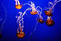Jellyfish (Sea nettle/chrysaora fuscescens), The Outer Bay, Monterey Bay Aquarium, Cannery Row, Monterey, California USA
