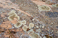 Crustose lichens on rock<br />