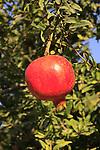 Israel, Shephelah, Pomegranate tree (Punica granatum) in Moshav Lachish