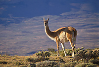 AJ2065, guanaco, Llama, Torres Del Paine National Park, Patagonia, Chile, Andes, A wild Guanaco stands on the windswept plains of Parque Nacional Torres Del Paine (National Park) in Chile.