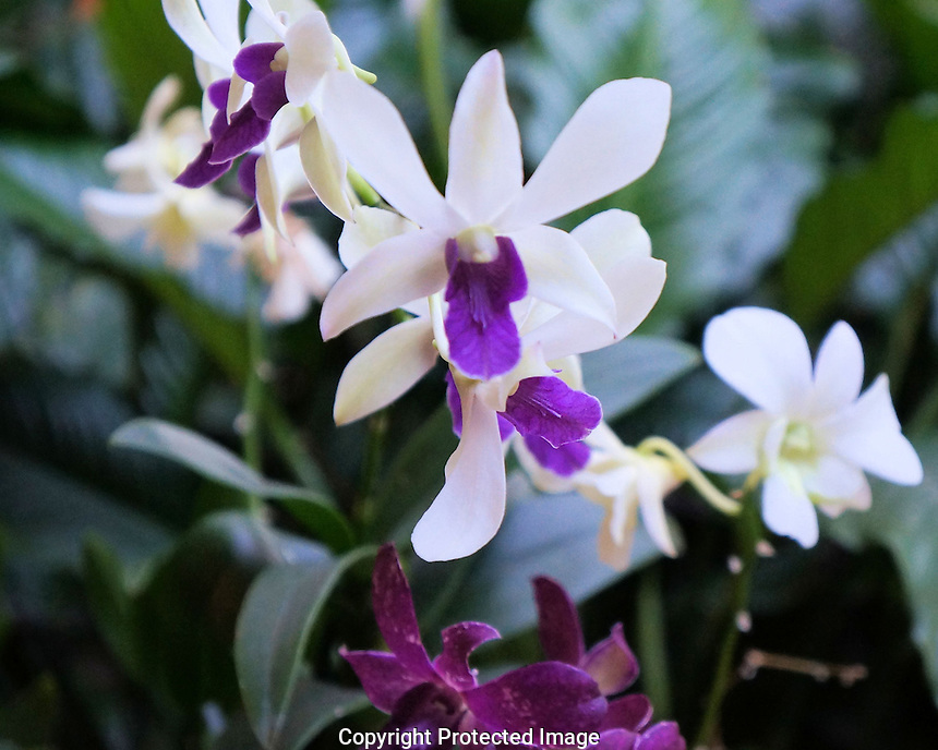 This orchid plant resides in the open air lobby of the Hilton Carib in San Juan.