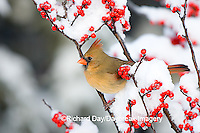 01530-191.18 Northern Cardinal (Cardinalis cardinalis) female on Common Winterberry (Ilex verticillata) in winter, Marion Co. IL