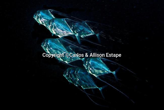 Alectis ciliaris, African pompano, Jupiter, Florida