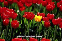 67221-00411 Lone Yellow Tulip in Red Tulip field  Skagit Valley  WA