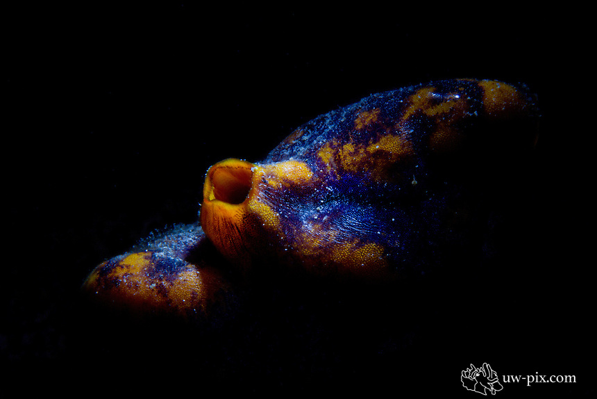 Tunicate or sea squirt (Polycarpa aurata) - snoot. The advantage of snooting is, that only the subject itself is hit by the light (in this case by the strobe) and we don't get disturbing backgrounds in the image.