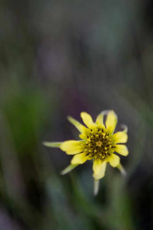 Nice little yellow flower on the prairie