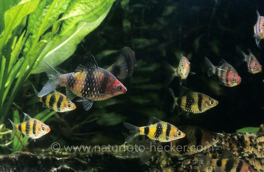 Purpurkopfbarbe, Purpurkopf-Barbe, Pethia nigrofasciata, Puntius nigrofasciatus, Barbus nigrofasciatus, black ruby barb, purplehead barb, Le barbus nigro, barbus rubis noir