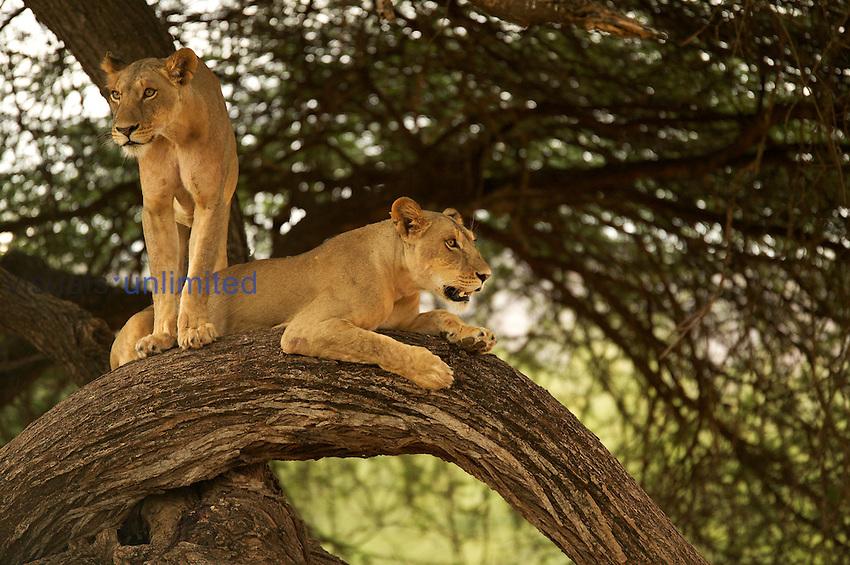African Lions ,Panthera leo, Samburu Game Reserve.