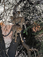Young cheetahs climbing a tree