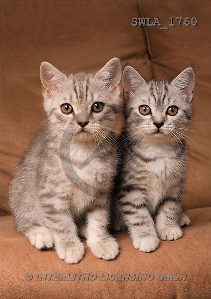 Carl, ANIMALS, photos(SWLA1760,#A#) Katzen, gatos