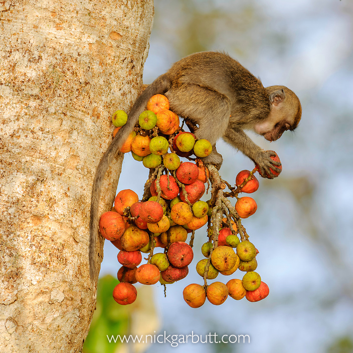 Young Long-tailed Macaque or Crab-eating Macaque (Macaca fascicularis fascicularis) feeding on ripe figs (Ficus sp.). Kinabatangan River, Sabah, Borneo.