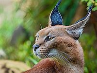 "Caracal (Caracal caracal).  The word ""Caracal"" comes from the Turkish word ""karakulak"" which means ""black ear.""  Found in Africa through Central Asia and India."