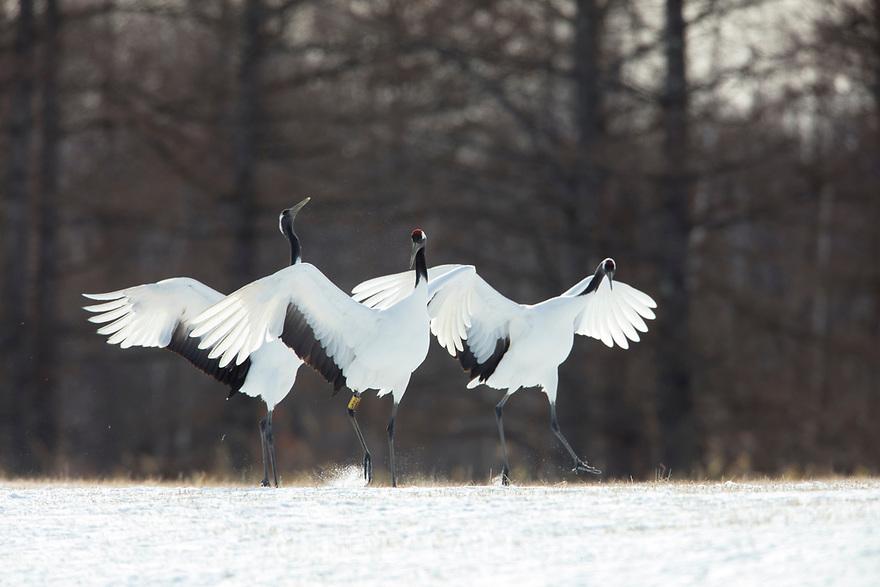 Japan, Hokkaido, red-crowned cranes landing in snow
