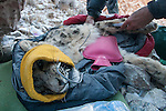 Snow Leopard (Panthera uncia) veterinarian, Ric Berlinski, drawing blood during collaring of male snow leopard, Sarychat-Ertash Strict Nature Reserve, Tien Shan Mountains, eastern Kyrgyzstan