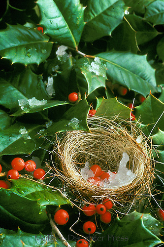 Christmas nest with holly leaves and red berries in ice