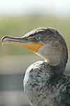 Young Cormorant -Blue Eye