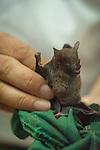 Fruit eating bat at the La Tirimbina Biological Reserve in Costa Rica