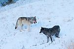 Two gray wolves after a successful hunt, seen In Yellowstone National Park, Montana, USA, Jan 4, 2009.  Photo by Gus Curtis.