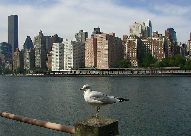 An Amerian Hearring Gull poses rail post on Roosevelt Island overlooking the East River and Queens, NewYork City.