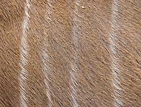 A close-up of a female kudu's coat.