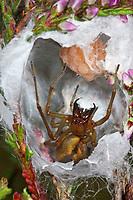Dornfinger, Dornfinger-Spinne, Dornfingerspinne, Heide-Sackspinne, im geöffneten Gespinst mit Eiern, Eier, Eipaket, Cheiracanthium erraticum, two-clawed hunting spider, Dornfingerspinnen, Eutichuridae, Cheiracanthiidae
