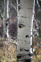A knot in the bark of an Aspen tree resembles a human eye.