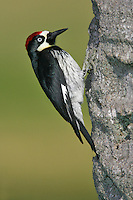 Acorn Woodpecker - Melanerpes formicivorus - Adult male