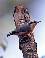 Adult male red-breasted nuthatch in October