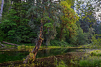 Olympic National Park Hoh Rainforest, WA.  Old beaver pond near visitor's center on Hoh River.  June.