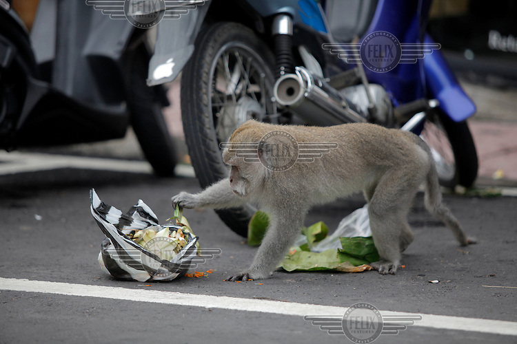 A monkey tears apart a plastic bag looking for food. The bag with trash was left by the side of the road in central Ubud, Bali.