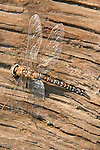 Dragonfly resting on wood