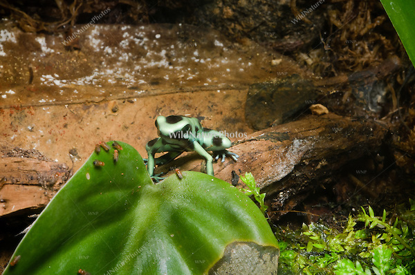 The Green and Black Poison Dart Frog (Dendrobates auratus) hunting fruit flies, captive