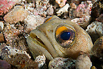 Sea of Cortez, Baja California, Mexico; a Fine Spotted Jawfish (Opistognathus punctatus) hiding in it's burrow amongst the rubble on the sea floor