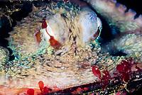 juvenile Giant Pacific Ocean Octopus, Enteroctopus dofleini, Howe Sound, Vancouver Island, British Columbia, Pacific Ocean