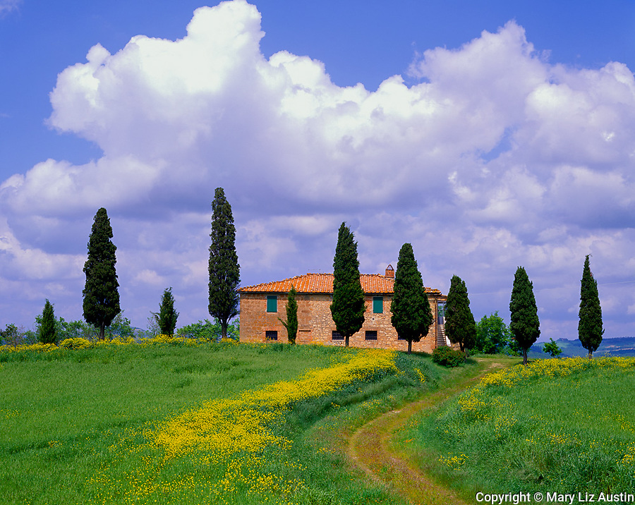 Tuscany, Italy       © Mary Liz Austin  /<br /> Curved road cuts through a field of flowering yellow mustard to Tuscan farmhouse lined with cypress trees