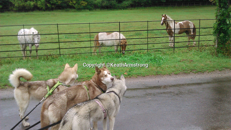 BNPS.co.uk (01202 558833)<br /> Pic: KeathArmstrong/BNPS<br /> <br /> ***Please Use Full Byline***<br /> <br /> Encounter with horses near Reading in Berkshire.<br /> <br /> Keath Armstrong arrives in Bournemouth with his three husky dogs Sakari, Nukka and Nala after travelling 318 miles from Manchester to raise money for cystic fibrosis.<br /> <br /> Barking mad...<br /> <br /> A man has moved 260 miles away and made the entire journey on foot with just his dogs to help drag his possessions.<br /> <br /> Keath Armstrong, 32, originally planned to move from Crumpsall in Manchester to Bournemouth in Dorset the conventional way, with a removal van.<br /> <br /> But he decided to walk the massive distance as a way to raise money for Cystic Fibrosis, after his friends Richard and Carl Jones died from the disease.<br /> <br /> Keath and his huskies walked between 11 and 30 miles each day and the journey took almost one month to complete.<br /> <br /> He used a three wheeled sled to carry his belongings which was pulled by the three dogs, Nala, four, Nukka, five, and Sakari, nine.<br /> <br /> Keath, who worked as a waiter in a restaurant but quit to do the challenge, camped every night along the way.<br /> <br /> He originally planned to make the trip by walking along the roads but realised it was too dangerous and opted to follow canals.<br /> <br /> He raised more than 3,100 pounds for the charity which was three times more than what he had hoped to do.