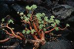 Euphorbia balsamifera, plante endémique de Lanzarote. .Euphorbia balsamifera, endemic plant of Lanzarote island