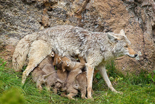 Wild Coyote (Canis latrans) mom nursing pups.  Western U.S., June.