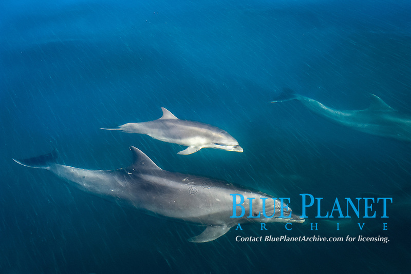 Bottlenose dolphin (tursiops truncatus) A juvenile bottlenose dolphin and adult, in a sea streaked with algae. Gulf of California., Baja California, Mexico, Pacific Ocean