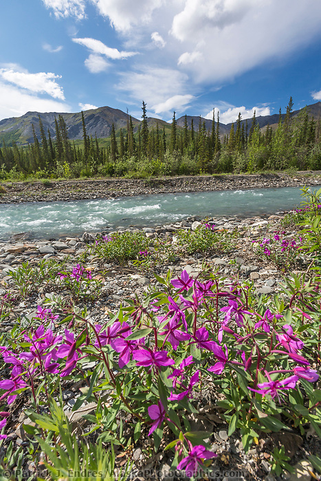 Dwarf fireweed blossoms along the Dietrich River in Alaska's Arctic, Brooks Range mountains.
