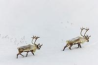 Two bull caribou migrate across the snow covered tundra of  Alaska's Arctic Coastal Plain.