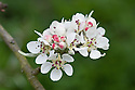 Blossom of snow pear (Pyrus nivalis), late March.