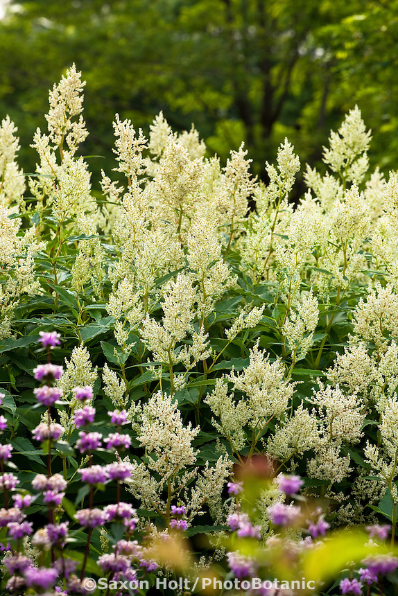 Giant Fleeceflower, White Fleece Flower, White Dragon Knotweed (Persicaria polymorpha) tall perennial in Lurie Garden Millenium Park, Chicago