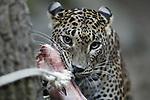 Foto: VidiPhoto<br /> <br /> ARNHEM &ndash; Bezoekers en pers moesten enkele uren geduld hebben woensdag voordat de twee panterwelpen van Burgers Zoo hun verblijf uit durfden te komen om zichzelf te presenteren aan het publiek. En dat nog wel op internationale kattendag. Zowel moeder als de beide in mei geboren kittens, bleven de rest van de dag voorzichtig. Veel binnen en even kort naar buiten, dicht bij de ingang. De twee Shri Lanka panterwelpen van de Arnhemse dierentuin zijn genetisch enorm belangrijk voor het Europese fokprogramma. Naar schatting leven er nog minder dan duizend Sri Lanka panters op het gelijknamige eiland. In de Europese dierentuinen leven in totaal 58 Sri Lanka panters. Met het oog op de toekomst van de Europese dierentuinpopulatie is het belangrijk dat de genetische variatie zo groot mogelijk is. De moeder van de twee Arnhemse jongen is de enige vertegenwoordiger van haar bloedlijn in de populatie en ook de vader heeft eerder nog maar drie andere jongen verwekt. Foto: De moeder moest eerst met een stuk vlees naar buiten gelokt worden.